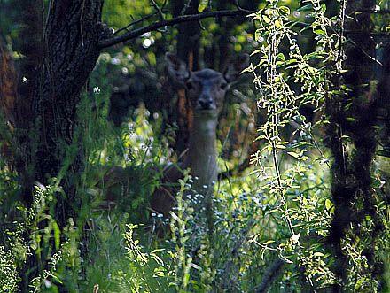 Олени – одно из немногих животных, которых Янукович любит живыми