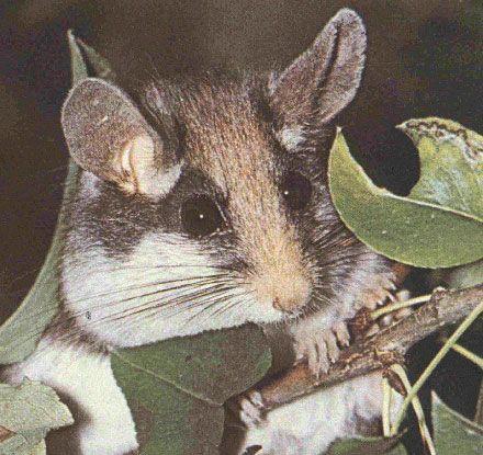 Соня садовая (Eliomys quercinus)