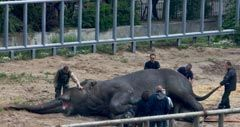 """Ветеринары расчищают роговые чехлы (ногти) слону в Киевском зоопарке, в субботу, 23 мая 2009 г.В этот день азиатскому слону по кличке Бой провели плановую операцию """"педикюра"""".Процедуру провели под общим наркозом из соображений безопасности."""