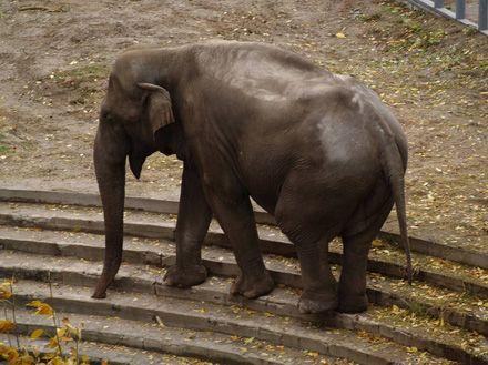 Слон у жовтні 2009 року