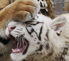 """Бенгальская тигрица Тигрюля и уссурийская - Жасмин в вольере зоопарка """"Сказка"""" в Ялте. 22 декабря"""