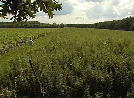В Донецкой области выявлен крупный посев конопли на сумму около 1 млн грн