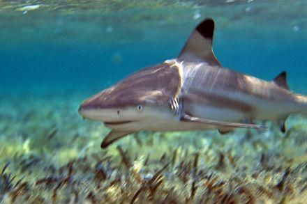 Рифова акула обпливає свою територію