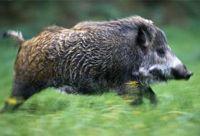 очень крепкое, довольно подвижное и быстрое на бегу животное.  Дикие кабаны достигают веса