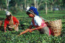 Штат Ассам знаний своїм чаєм