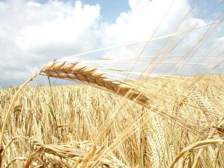 Отечественные производители зерновых вынуждены сосуществовать с большим количеством посредников