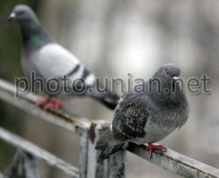 Главній регионал Сум предложить свой метод, как избавиться от голубей