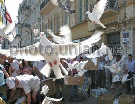 Почтовый голубь Болт продан за $399,6 тысяч