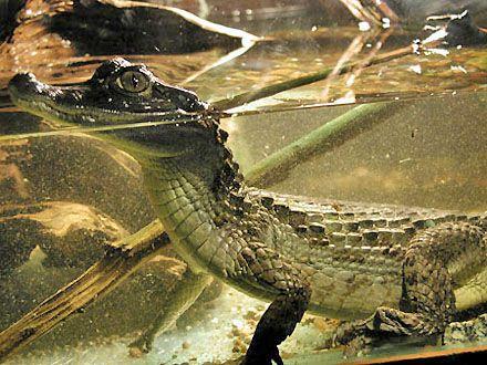 крокодил / Фото : www.aquatek.narod.ru