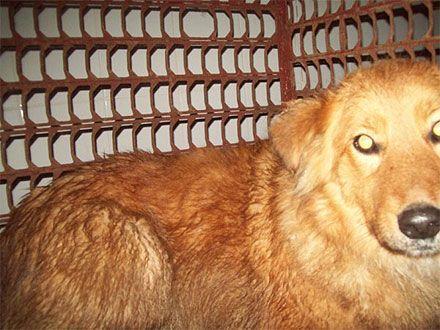Рыжий пес поверг в панику всю Полтаву