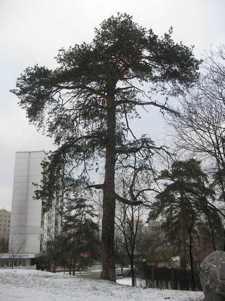 """""""Сосна Нестерова"""" вціліла в Дарниці - там, де раніше таких був ліс / Фото: gorodkiev.com"""