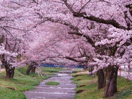 в Токио начало цветения