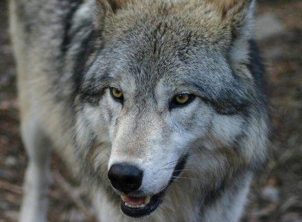 вовк волк