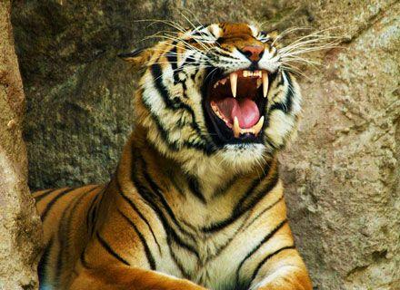 тигр Фото animalbox.ru