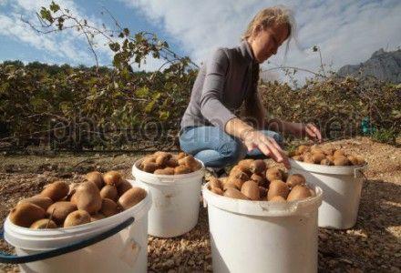 В Крыму начался сбор урожая киви