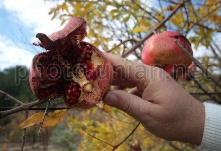 В Крыму начался сбор урожая гранатов