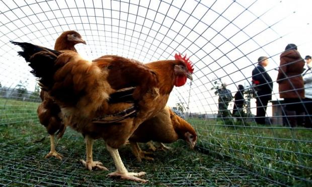 МХП в этом году планирует экспортировать в Таможенный союз 50 тыс. тонн курятины