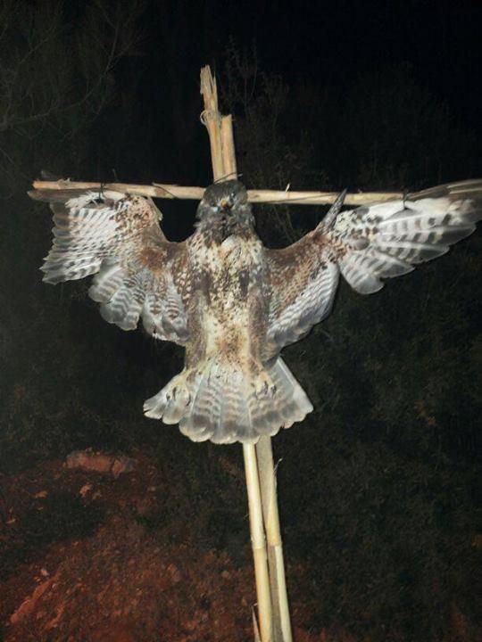 Аналогичное фото канюка, убитого и распятого в Ливане.