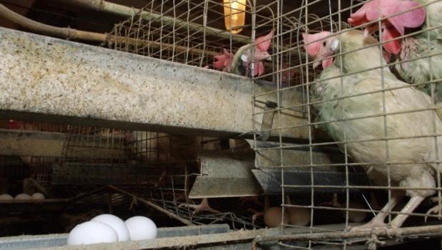 Компании смогут заполнить определенную ЕС квоту в размере 3 тыс. тонн яичных продуктов