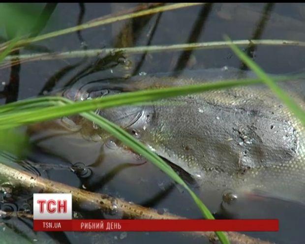 Из-за мертвой рыбы может стать непригодной вода