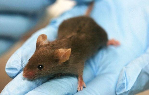 Мышь ученые исследование / http://en.wikipedia.org/