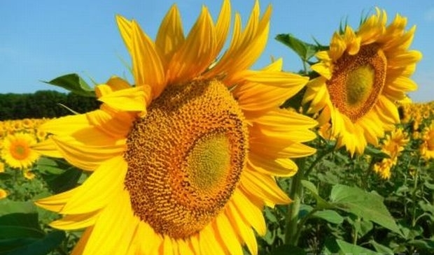 Украина остается лидером мирового рынка подсолнечного масла с долей 55%