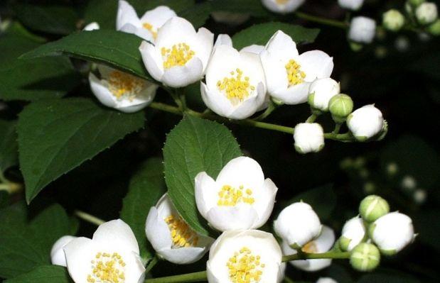 Цветки жасмина полезно добавлять в чай / Фото: econet.ru