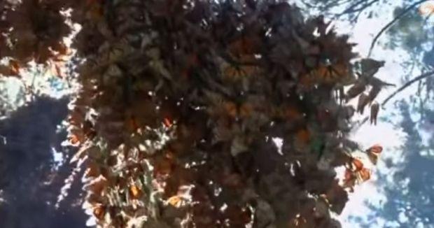 Бабочки прибыли в Мексику
