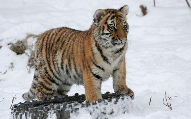 Амурский тигр / Dave Pape / Wikipedia