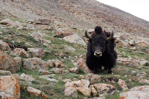 В Непале нашли диких яков