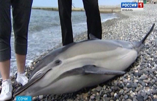 В Сочи регулярно выбрасываются на берег дельфины / Принтскрин