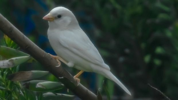 Австралійський білий горобець