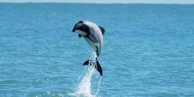 Дельфин Мауи / dolphin-way.com