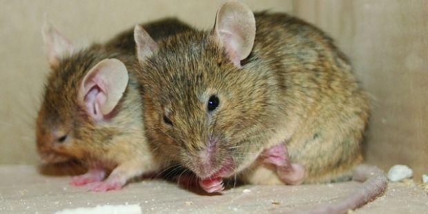 Ученые проводили опыты на мышах / Flickr.com, SITS Girls