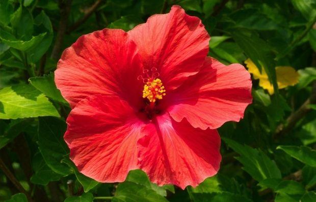 Цветки гибискуса используются для приготовления напитка каркаде / Фото: uk.wikipedia.org