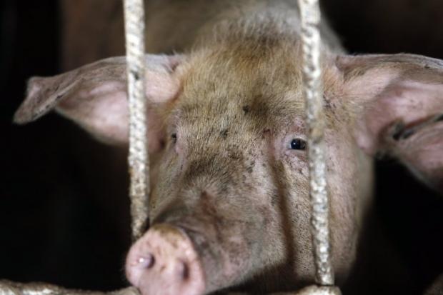 В Полтавской области зафиксирована вспышка африканской чумы свиней