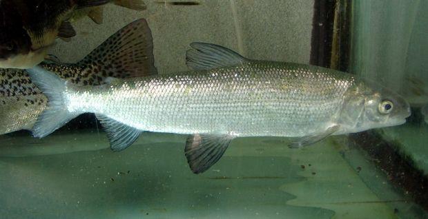 Иллюстративная фотография: рыба из семейства сиговых / Apple2000 / wikimedia.org