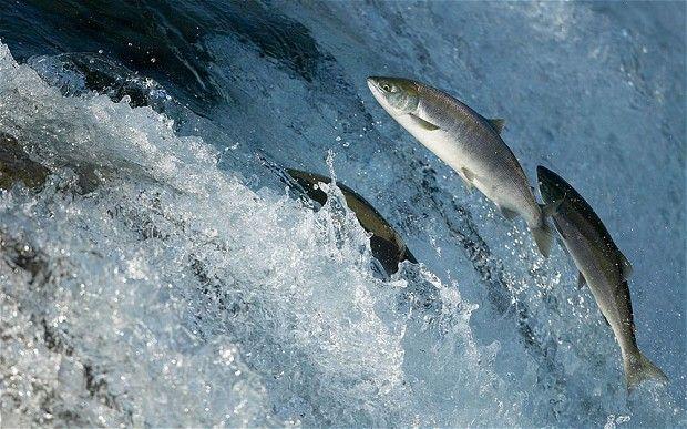 Один норвежский лосось уже дороже барреля нефти