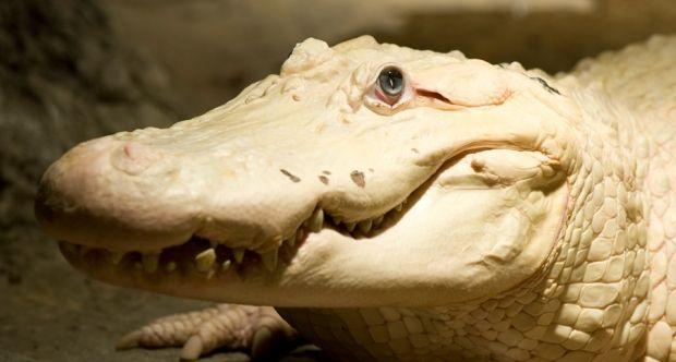 белый аллигатор / auduboninstitute.org