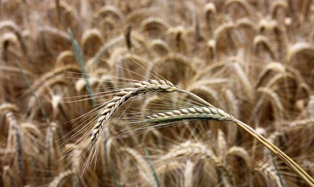 Урожай зерновых в Украине уменьшился до 60 миллионов тонн