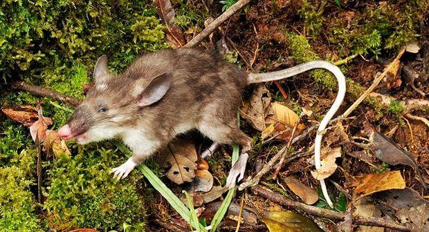 Новый вид крысы с пятачком вместо носа открыт в Индонезии