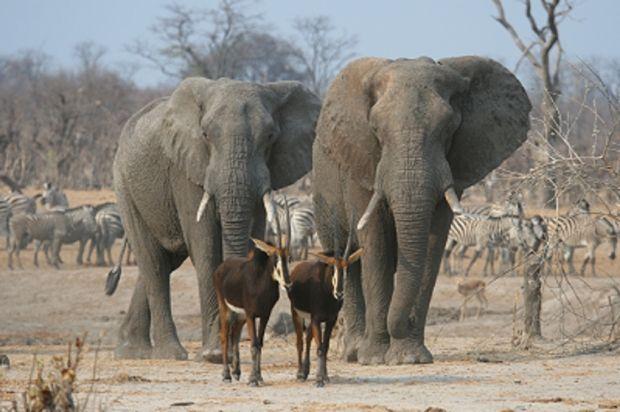 В Зимбабве снова нашли отравленных ради бивней слонов / hwange.co.za