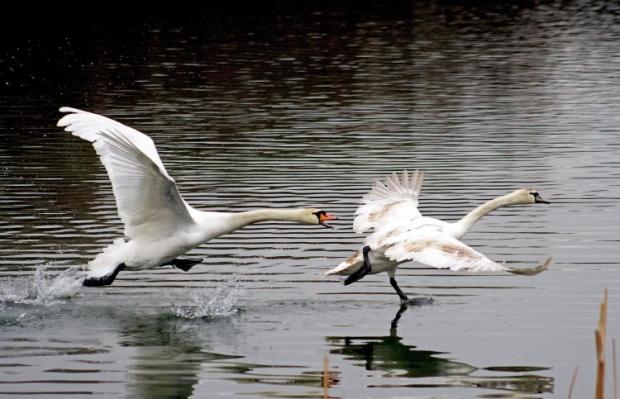 Лебеді / Фото УНІАН
