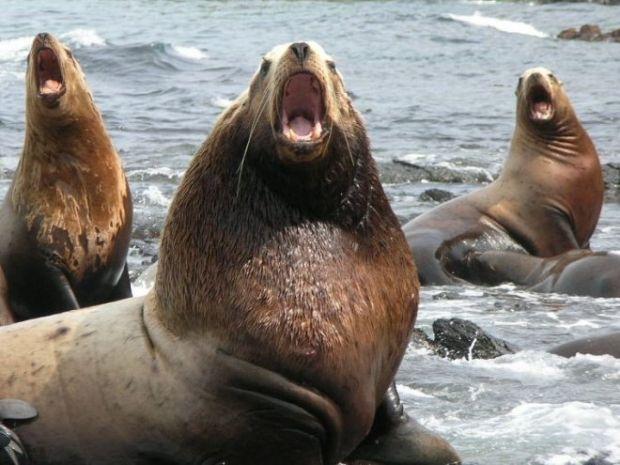 Камчатские экологи пытаются спасти краснокнижных тюленей