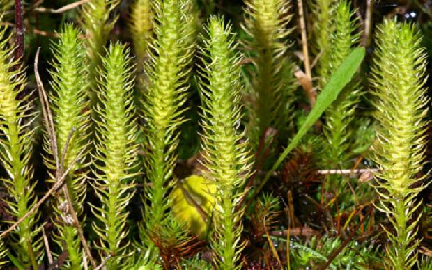 Ученые нашли остатки Lycopodiophyta в Арктике / en.wikipedia.org