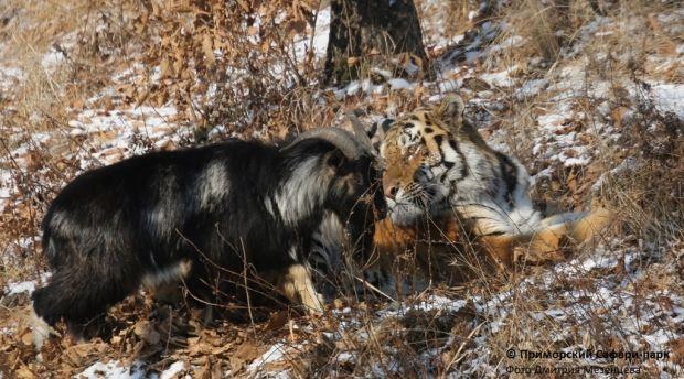 амур тимур / safaripark25.ru
