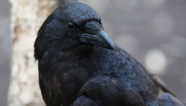 Ворона-«пограничница» украла паспорт уэстонца, уезжающего из РФ