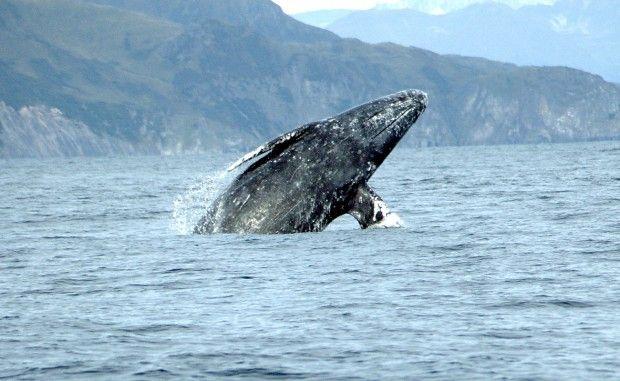 серый кит / wikipedia.org