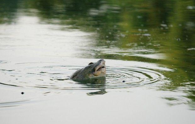 черепаха / en.wikipedia.org