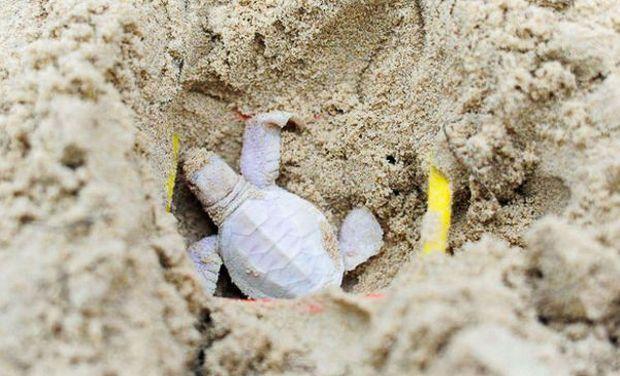 Крихітна істота була однією з 122 дитинчат зеленої черепахи / moya-planeta.ru